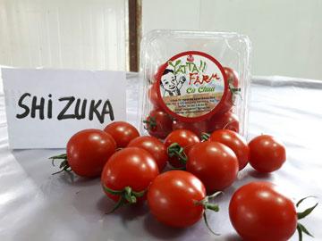 Cà chua Đỏ SHIZUKA